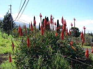 Aloe arborescens Candelabra Aloe