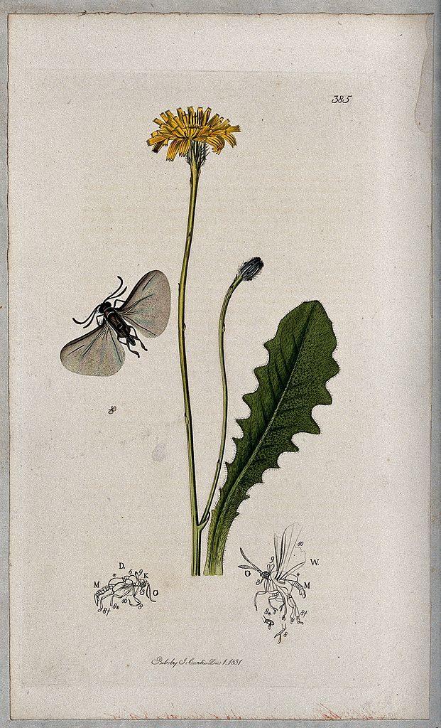 cats-ear-plant-Hypochaeris-radicata